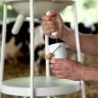 70-2015-vache-a-lait-55designstudio-verre-a-traire-07hd