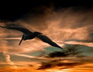 pelican-sunset-clouds-florida-large